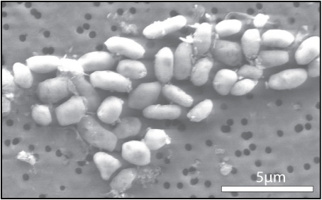 Bacteria grown with arsenic