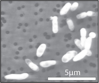 Bacteria grown with phosphorus